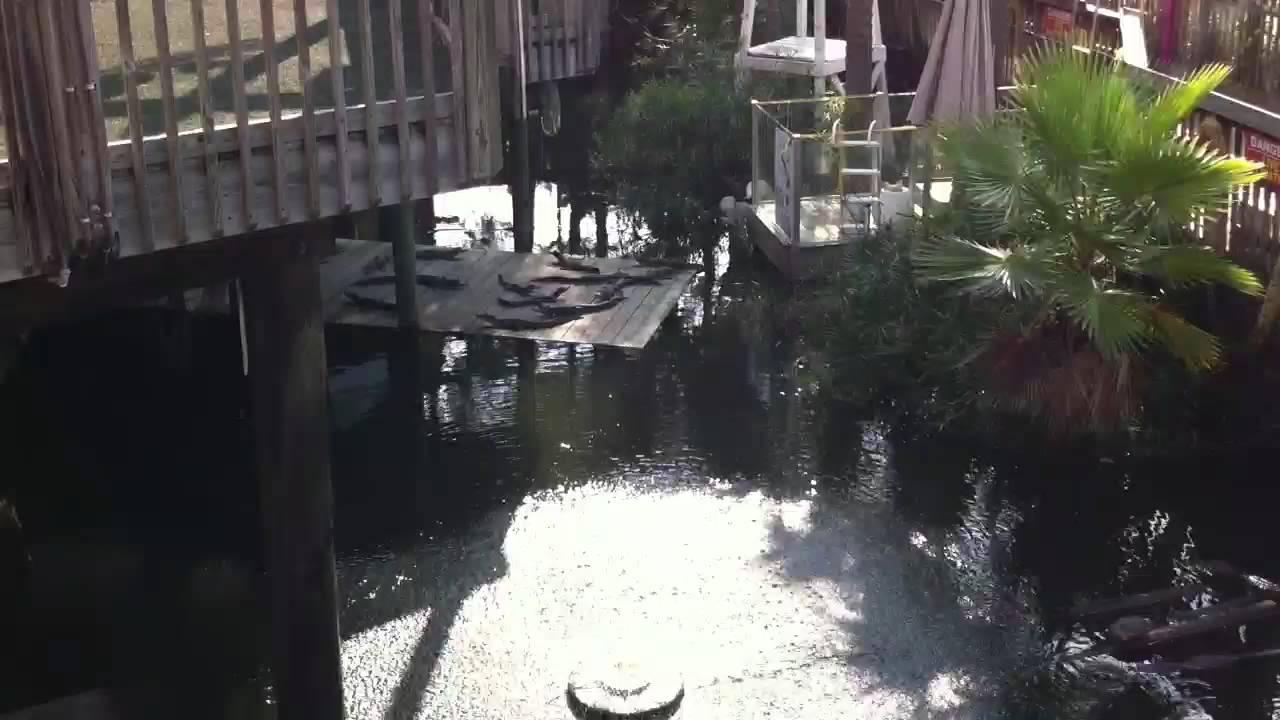 gators at fudpuckers in destin fl youtube