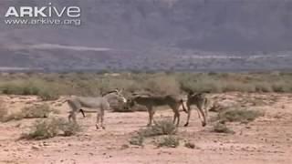 African wild ass ( Equus africanus somalicus) mating