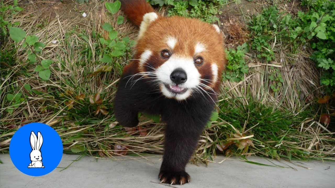 Most Adorable Red Panda Cutest Compilation Youtube