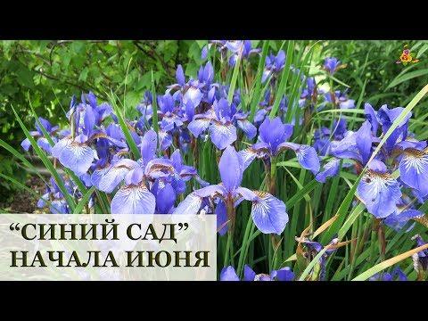 Мой сад в начале ИЮНЯ! / Синие цветы и ягоды