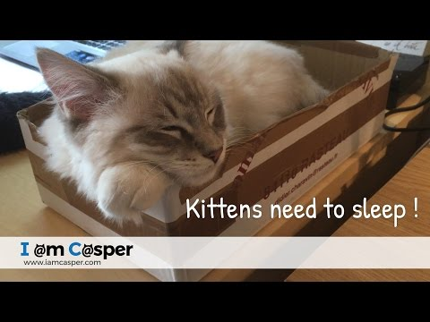 Casper Ragdoll Cat - kittens need to sleep often