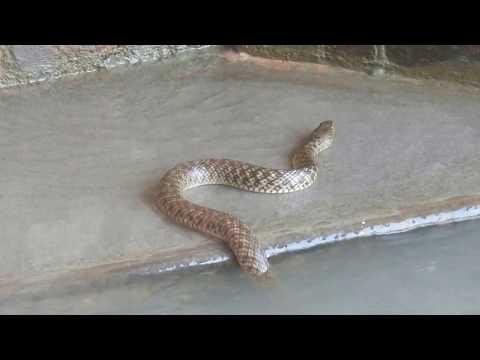 HARIDWAR -Snake of Lord Shiva ?