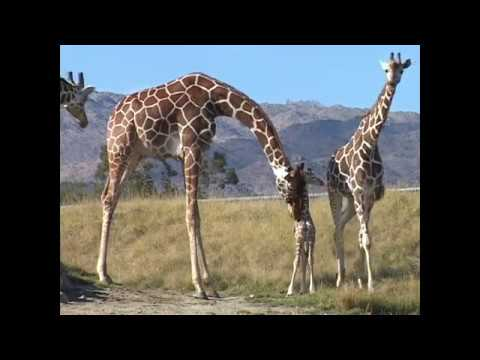 Animal Adventure Park Giraffe Cam - Aprils Family and Friends before coming to the USA