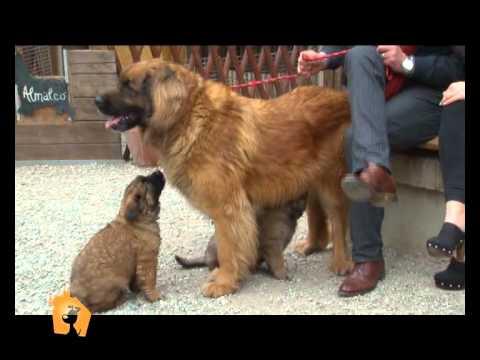 'Cani, gatti & c.' - Servizio sul Leonberger nella puntata del 9 Maggio 2012