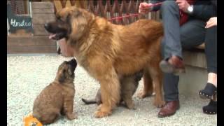 'Cani, gatti & c.'  Servizio sul Leonberger nella puntata del 9 Maggio 2012