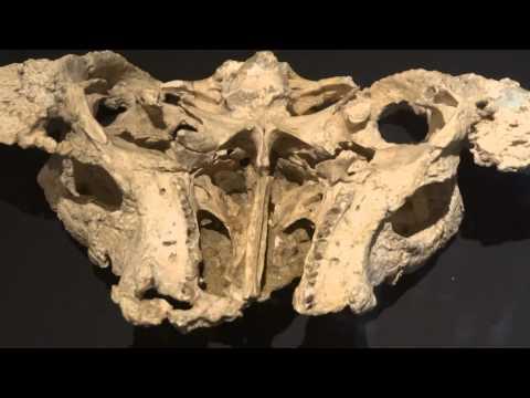 ピナコサウルス Pinacosaurus grangeri:「大恐竜展」ゴビ砂漠の驚異