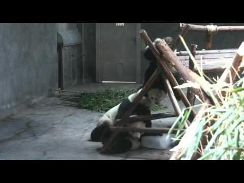 Pandas at the Chengdu Panda Base