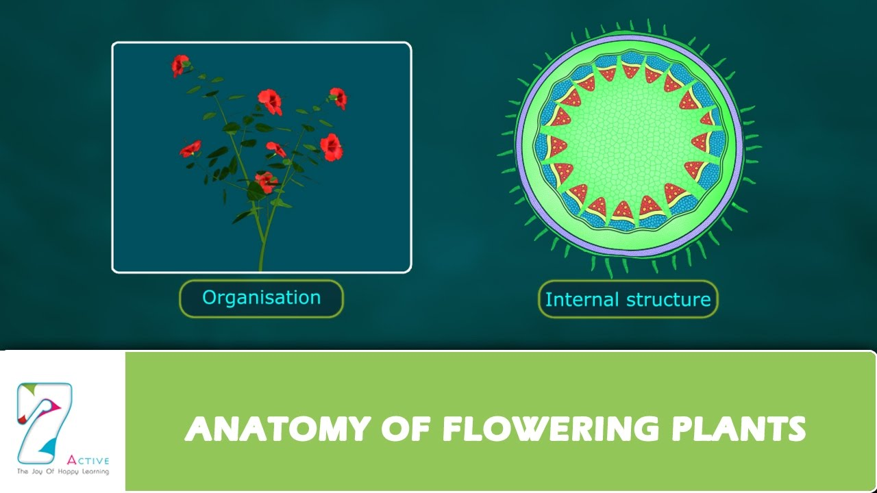 ANATOMY OF FLOWERING PLANTS - YouTube