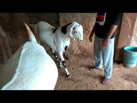 KGN GOAT FARM NIMBOL Sojat Qurbani ready 57 Buck stock Sold out to Goregaon vangani Mumbai
