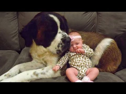St Bernard and Baby Compilation