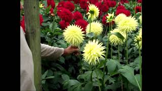 How to Grow Dahlia's. Dave Spencer's Guided Plot Tour 30th August 17.
