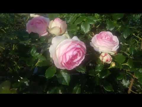 Роза Пьер де Ронсар.