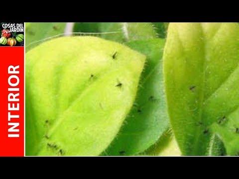 Como eliminar la mosca del sustrato en cultivo indoor, mosca del suelo control organico