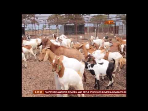 Watch: Benefits of Goat Meat for Body Health