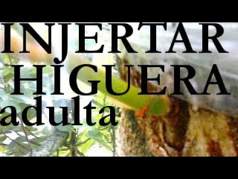 Injerto de arbol grande de higuera parte 1 viyoutube - Como injertar rosales ...