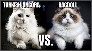 Turkish Angora Cat VS. Ragdoll Cat