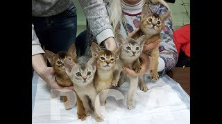 Презентация питомника абиссинских кошек PCA ЮЛИАННА