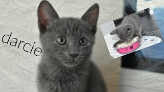 RUSSIAN BLUE KITTEN DARCIE!