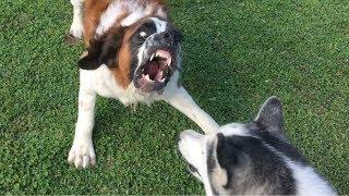Saint Bernard Barks Like Cujo!