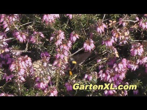 Heidekraut Im Garten (Besenheide / Calluna Vulgaris / Erikablüte)