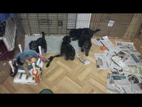 Airy Step Bedlington terrier kennel, litter L(1)