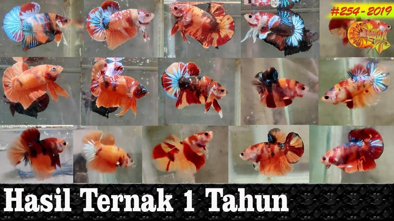 Alhamdulilah selama 1 tahun, berhasil koleksi ratusan Ikan ...