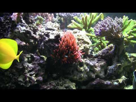 Amphiprion percula -