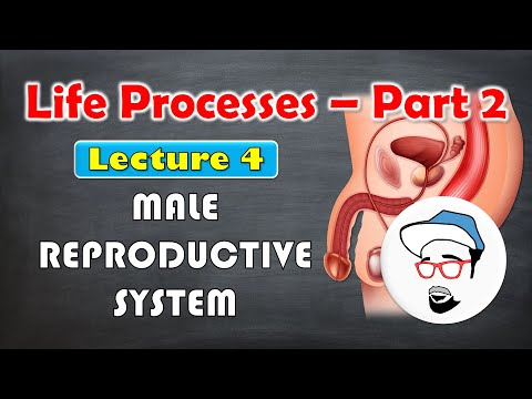 Male reproductive system || Life processes in Living Organisms Part 2 Class 10 SSC CBSE