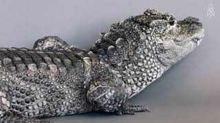 Chinese Alligator School Project