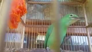vuclip Gila...!! Burung Cucak Ijo Betina Super Gacor