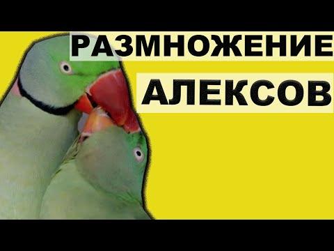 РАЗМНОЖЕНИЕ АЛЕКСАНДРИЙСКИХ ПОПУГАЕВ