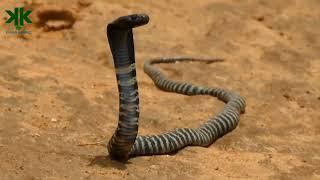 Tüküren Kobra