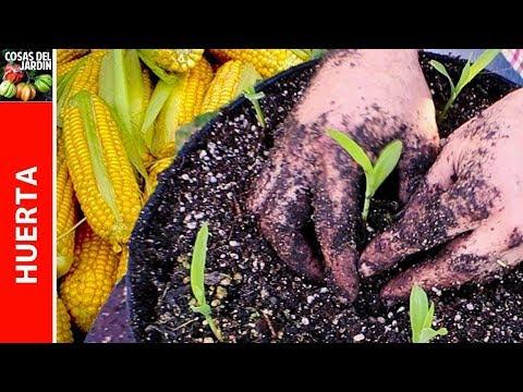 Cómo sembrar maiz en maceta. Cultivo de maiz en casa - 1