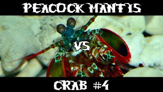 Peacock Mantis VS Crab #4