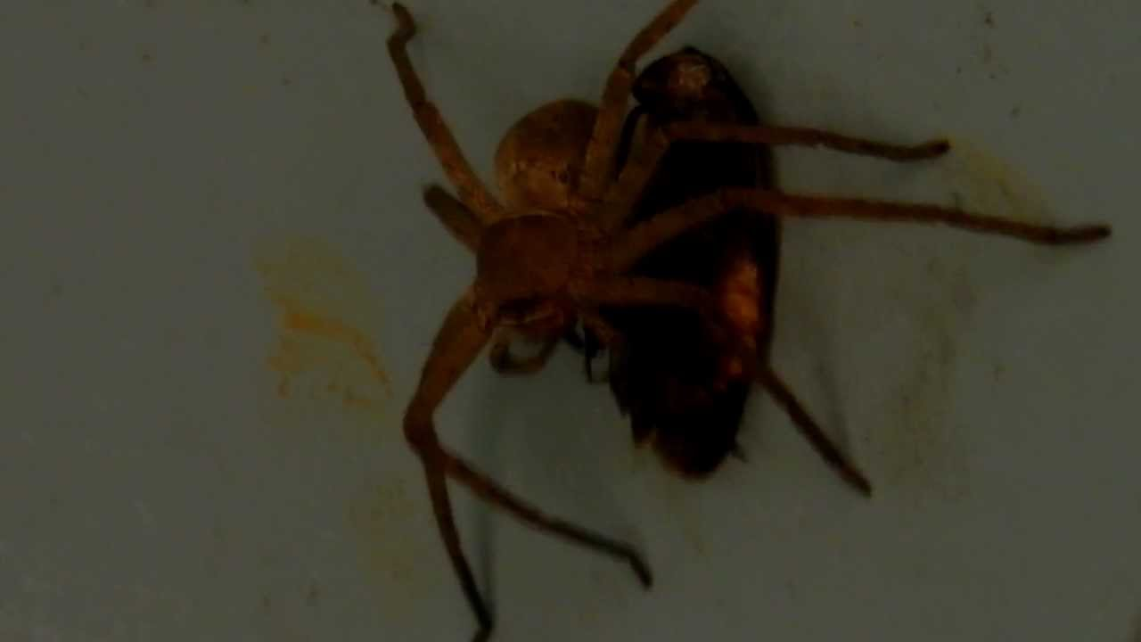 Big brown bangladeshi spider eating youtube for How to keep spiders out of your bedroom