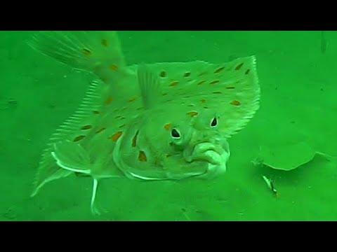 fladfisk djursland