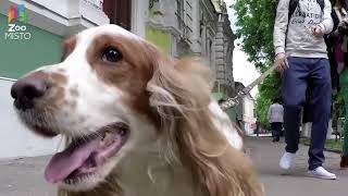 Русский охотничий спаниель   Все о породе собаки ¦ Собака породы   Русский охотничий спаниель