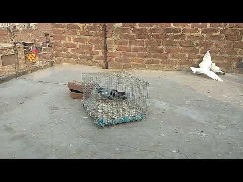 Full Download] Junglee Kabootar In Karachi Pakistan Hd Video