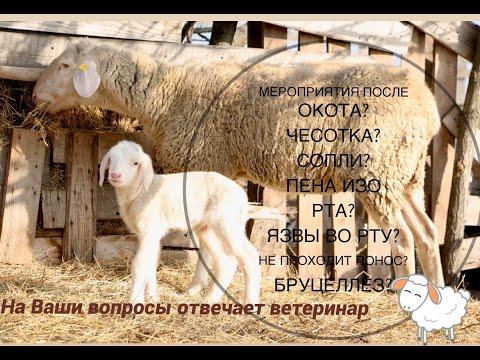 Про чесотку у овец, сопли, язвы, пену изо рта, бруцеллез. Ответы ветеринара