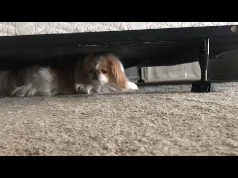 Japanese Chin army crawls out from under the bed
