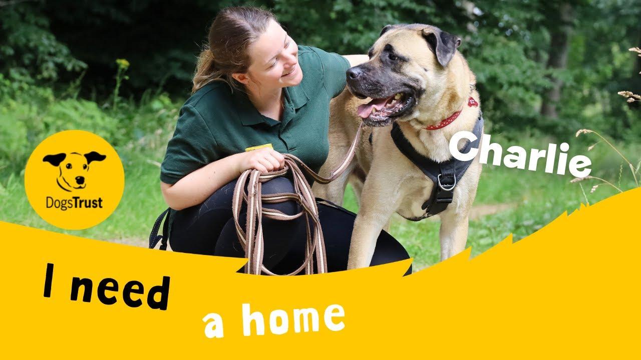 Charlie the handsome Akita cross | Dogs Trust Leeds