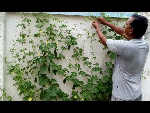 Bitter melon (Karala) farming in the courtyard