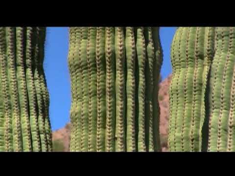 Рекорды. Самый большой кактус в мире