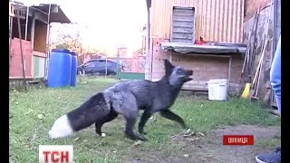 На Вінниччині дівчина тримає вдома трьох лисиць