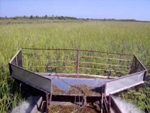 Wild Rice b100_0176.mov