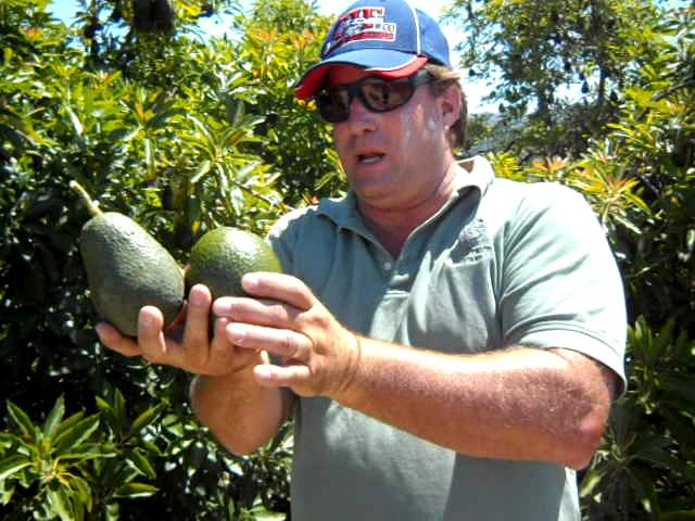 Lamb Hass Avocado Tree with Hass & Reed Demo - YoutubeDownload pro