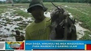 BP: Mga daga, hinuhuli ng mga magsasaka sa Cabiao, Nueva Ecija para maibenta o gawing ulam