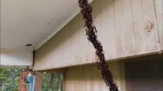Муравьи атакуют гнездо ос