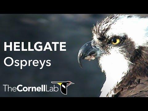 Cornell Lab | University of Montana Hellgate Ospreys