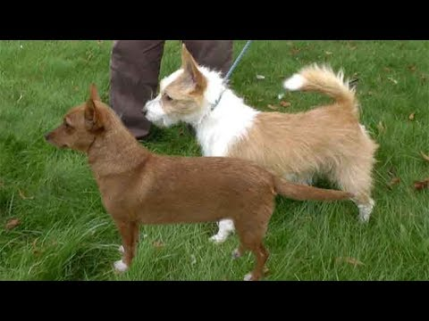 Dog Breed Video: Podengo
